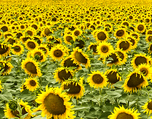 Ban on the export of sunflower seeds from Russia