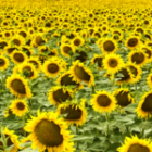 The Ministry of Agriculture said that the sunflower harvest in Russia by 2024 will grow to 17.4 million tons