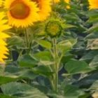 Sunflower purchase prices are rising following quotations for soybeans and oil in the United States