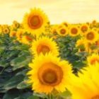 Sunflower deployed to Russia